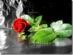 fall_red_rose